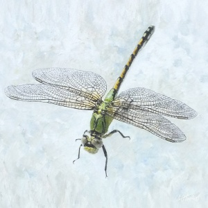 800x800pxs_dragonfly_2_8x8in_canvas