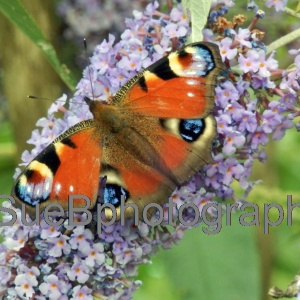 butterfly_on_lilac
